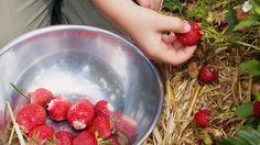 Erdbeeren pflücken sollte man nicht bei Nässe. Die Früchte verlieren dann an Aroma. (Quelle: imago/Arco Images)