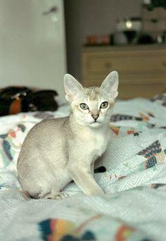 [Feline 101] Singapura Kitten