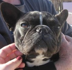 Petunia M is an adoptable French Bulldog Dog in Providence, RI. Adoption donation $1250 Located:Illinois AGE:10 mo WEIGHT: Up to date on everything and fixed. Adoption Donation includ...
