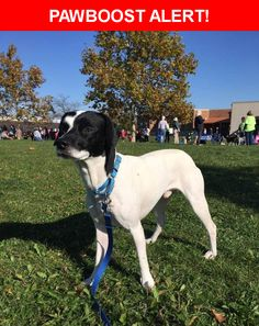 Please spread the word! Waldo was last seen in Columbus, OH 43204.  Description: Timid. Afraid of cars. Dog friendly. Small 30#. Whippet terrier mix. Neutered and chipped  Nearest Address: 2916 Olive Street, Columbus, OH, United States