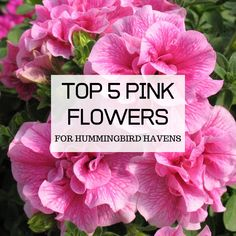 Find out what the 5 best orange flowers for attracting hummingbirds are, and learn how to properly grow them to maximize their potential. Attracting Hummingbirds, How To Attract Hummingbirds, Rosy Pink, Blush Pink, Pink Marshmallows, Hummingbird Flowers, Pink Petals, Monarch Butterfly, Orange Flowers