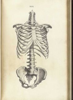 Osteology of the thoracic cage, spine, pelvis and...