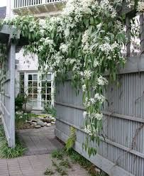 Clematis armandii. Clematis armandii (also called Armand clematis or evergreen clematis) is a flowering climbing plant of the genus Clematis. Like many members of that genus, it is prized by gardeners for its showy flowers. It is native to much of China