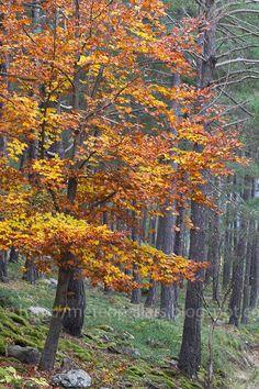 Tardor al bosc de Virós al Pallars Sobirà  Lleida  Catalonia