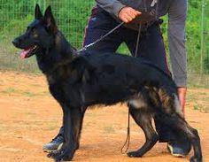 Black Sable German Shepherds