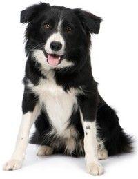 100 smartest dog breeds