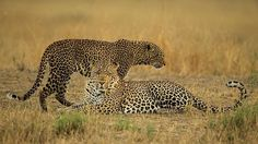 Together  #PawsTrails #masaimara #Africa #leopard #nature #travel #adventure #wildlife #wildlives #wildlifeowners #wildlifeonearth #canon #love #beautiful #photography #wildafrica #wildlifeplanet @natgeotravel @natgeowild @natgeocreative @bbc_travel @bbcearth  www.pawstrails.com | www.nishas.info
