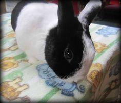 Oreo :: #bunny #rabbit #rescue