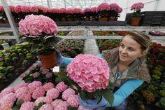 MAASDIJK – Medewerkers van hortensiakwekerij Sjaak van Schie uit Maasdijk komen handen te kort. Aanstaande zondag is het Moederdag in bijna heel Europa en dat betekent topdrukte. Deze week verlaat een recordaantal van 250.000 hortensia's de kwekerij richting tuincentra en bloemisten in binnen- en buitenland. Dat is 30% meer dan in 2016.