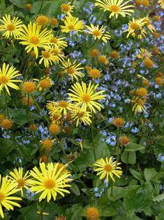 Doronicum planting combination