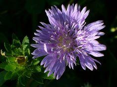 Blue Danube Stokesia Daisy, Stoke's Aster,Stokesia laevis 'Blue Danube', copyright © almostedenplants.com