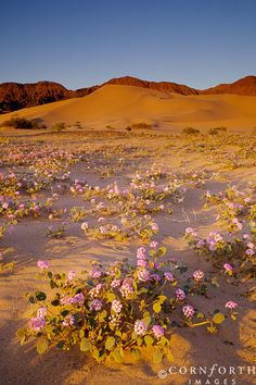 Spring - the desert in bloom - Death Valley National Park, CA