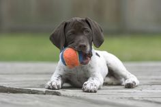 Lately i've seen little german shorthaired pointer puppies like Hogan getting walked in the city park. I'm getting pulled --German Shorthair. Gsp Puppies, Pointer Puppies, Pointer Dog, Cute Puppies, Cute Dogs, Cute Dog Photos, Funny Dog Pictures, Puppy Pictures, German Shorthaired Pointer