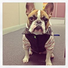 This French Bulldog is a Cool Dude