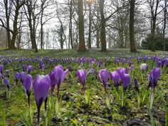 Mooi tafereeltje met paarse krokusjes in het sterrebos in Groningen.