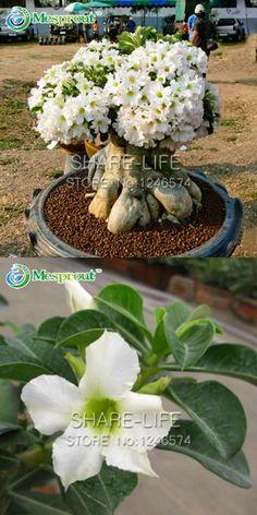 [Visit to Buy] Hot Selling 1PCS White Desert Rose Seeds Bonsai Plants Adenium Obesum Flower Seeds for Home & Garden #Advertisement