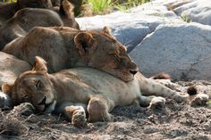It's a tough life for the kings: 1. hunt. 2. eat till you can't any more 3. sleep hard. 4. repeat