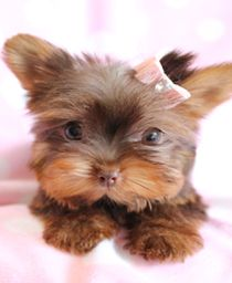 Yorkie Puppy,now this is my kind of a sweet adorable pet, I want one ♥