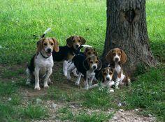 Beautiful beagles