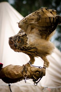 Let`s fly by Pricope Marian Owl, Let It Be, Bird, Animals, Animales, Animaux, Owls, Birds, Animal