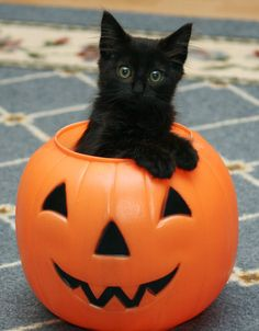 Trick or treat? Halloween kitty cat in high-fashion black