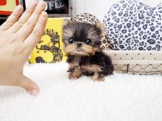 Teacup Yorkie #MicroYorkie 2.5lbs Fully Grown. Could be yours! For more details please call us +1-403-407-7544. Prices start at $4000USD #tinypuppies #TeacupYorkiesForSale #MicroYorkieforsale #teacuppuppies #MiniYorkiePuppiesForSale #GlobalDelivery #Dubai #Canada #USA #JetSet #LuxuryLife #beENVIEd #DogsOfInstagram #InstaFamous #CelebrityPuppies   http://www.microteacup.com/product-category/teacup-yorkie/