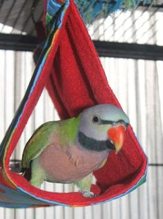 Peanut Parrot, Bird, Parrot Bird, Birds, Parrots