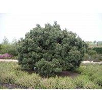 Pijnboom (Pinus sylvestris 'Watereri')