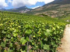 The vineyards #mathier #wine #valais #switzerland Wine Tasting, Switzerland, Vineyard, Plants, Outdoor, Outdoors, Flora, Vineyard Vines, The Great Outdoors