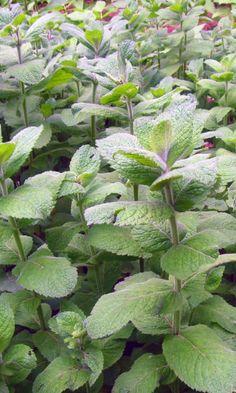Apple mint's wooly leaves add a subtle fruity complement when used to garnish drinks you use mint in, like a mint julep.