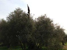L'emblema del vandalismo: l'Olivone di Fiabbianello, albero plurimillenario che i vandali cercarono di uccidere nel 1998. Noi abbiamo adottato 25 figli dell'Olivone (progetto salvaguardia genoma Olivone ITC agrario Grosseto)