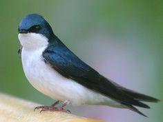 Tree Swallow (Tachycineta bicolor) in Ontario, Canada
