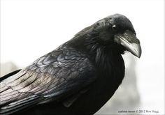 raven beak - Google-søgning