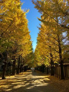 Golden showers of Ginkgo Biloba at the University of Tokyo Komaba campus