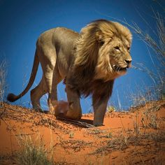 Stunning and Breathtaking Pictures of Lions - Lion is the most powerful and royalty animal belong to cat family which never keep a step back and rules the jungle as a king. Nature Animals, Animals And Pets, Cute Animals, Wild Animals, Baby Animals, Lion Pictures, Animal Pictures, Citation Lion, Wildlife Photography