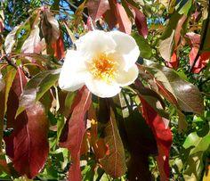 Franklinia » Arnold Arboretum