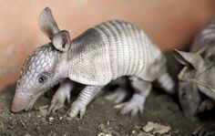 Jake will get to take care of baby armadillos too.  Baby!