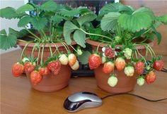 Можно ли вырастить землянику в квартире!?: Группа Практикум садовода и огородника