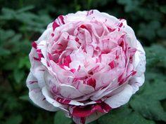 Variegata di Bologna rose
