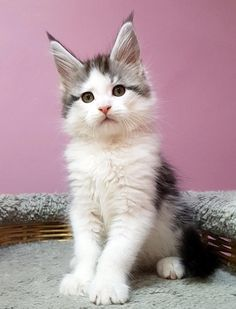 New!!!elite Maine Coon Kitten From Europe With Excellent Pedigree. Male. Jordan in - Hoobly Classifieds