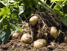 Cómo cultivar papas en su huerto casero