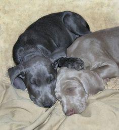 blue and gray Weimaraner pups