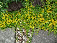 Auch für große Flächen gibt es gelb blühende Bodendecker