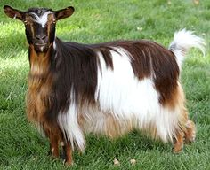 """Fainting Goat """"Bells Goats Sunshine"""" - a Mini Silky Fainter at Bells Farms; This site has several myotonic goat photos set up so that when you click on the picture, you see a picture of the same goat after it """"fainted."""" - photo from bellsgoats"""