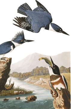 Belted Kingfisher | John James Audubon's Birds of America