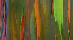 Rinde Eines Regenbogen-Eukalyptus, Maui, Hawaii (© Daryl Pederson/Plainpicture) © (Bing Germany) Wallpaper