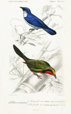 D'Orbigny Travies Bird Prints 1849