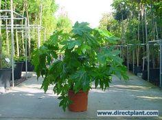 Vingerplant (Fatsia japonica) Blijft mooi groen in de schaduw