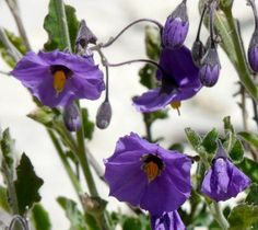 Purple Nightshade (Solanum xanti).  Can be found under oak trees along the edge, likes leaf litter.