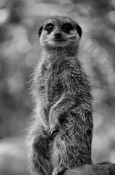 Le suricate est un mammifère carnivore très prolifique originaire des déserts d'Afrique du Sud Ouest. De petite taille (moins de 60 centimètres), le suricate se nourrit principalement de racines, de bulbes de plantes, d'insectes, de reptiles et même de rats et d'oiseaux !
